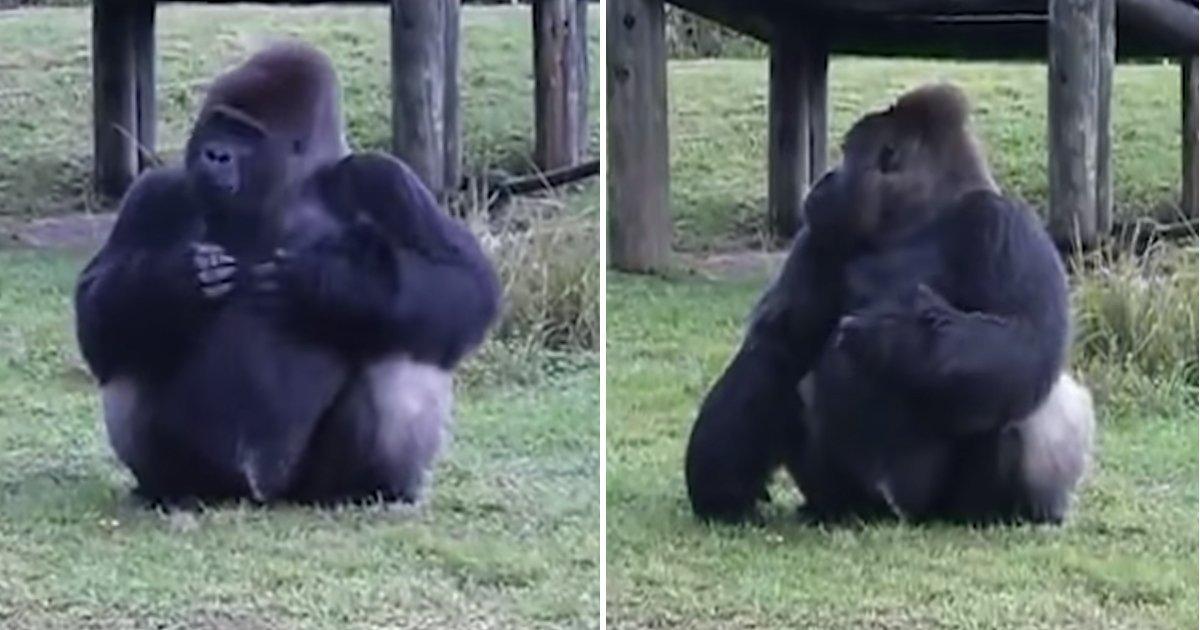 1 278.jpg?resize=412,232 - Gorila Utiliza Señas Para Decir Que No Le Permiten Aceptar Comida Cuando El Entrenador Está Mirando