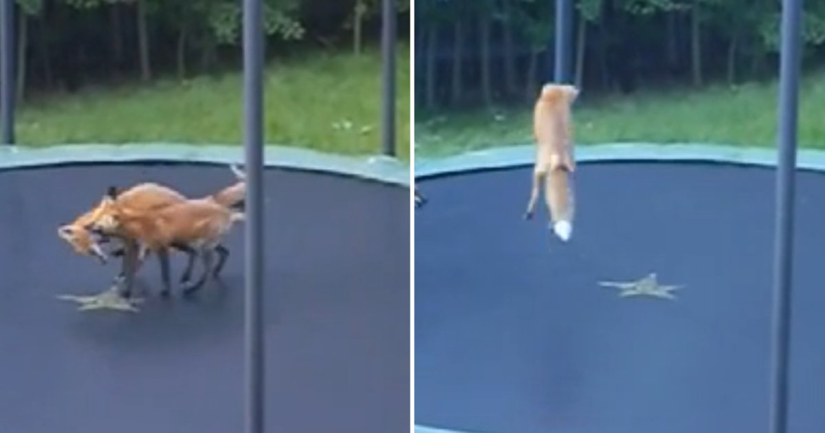 1 32.png?resize=1200,630 - A Pair of Fox Jump On A Trampoline Outside Someone's House