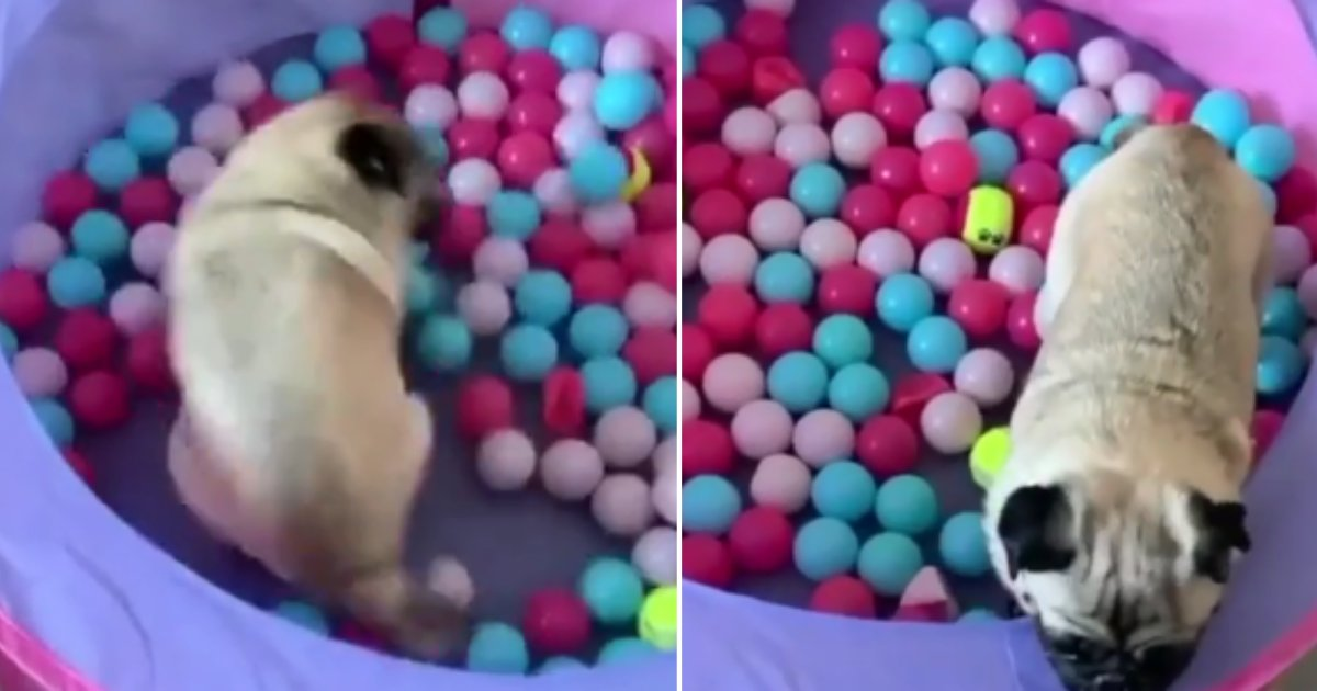 1 70.png?resize=1200,630 - Pug Has Its Greatest Day Ever Playing In A Ball Pit