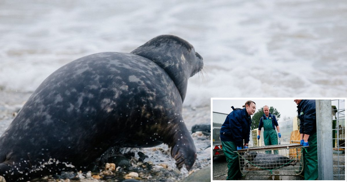 1 72.png?resize=1200,630 - Two Seal Pups That Were Severely Injured by Discarded Fishing Nets Were Finally Released in Wild After Recovery