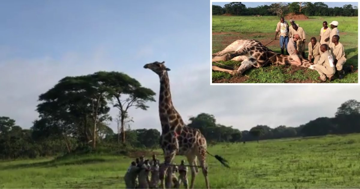 2 60.png?resize=300,169 - 12 Good Men Came Together to Free a Giraffe That Was Choking On A Metal Wire