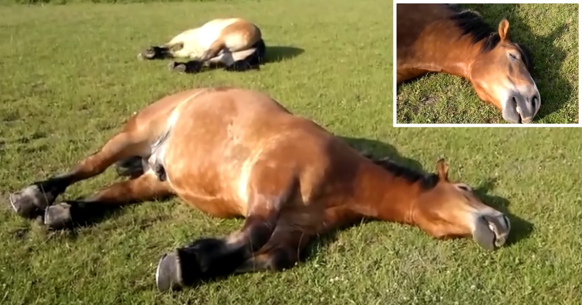 2 64.png?resize=1200,630 - Man Records Horse Snoring Loudly While Sleeping In The Sun