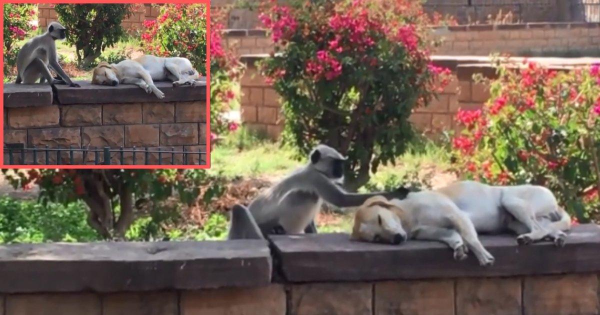 2 86.png?resize=1200,630 - Wild Monkey Irritates Sleeping Dog
