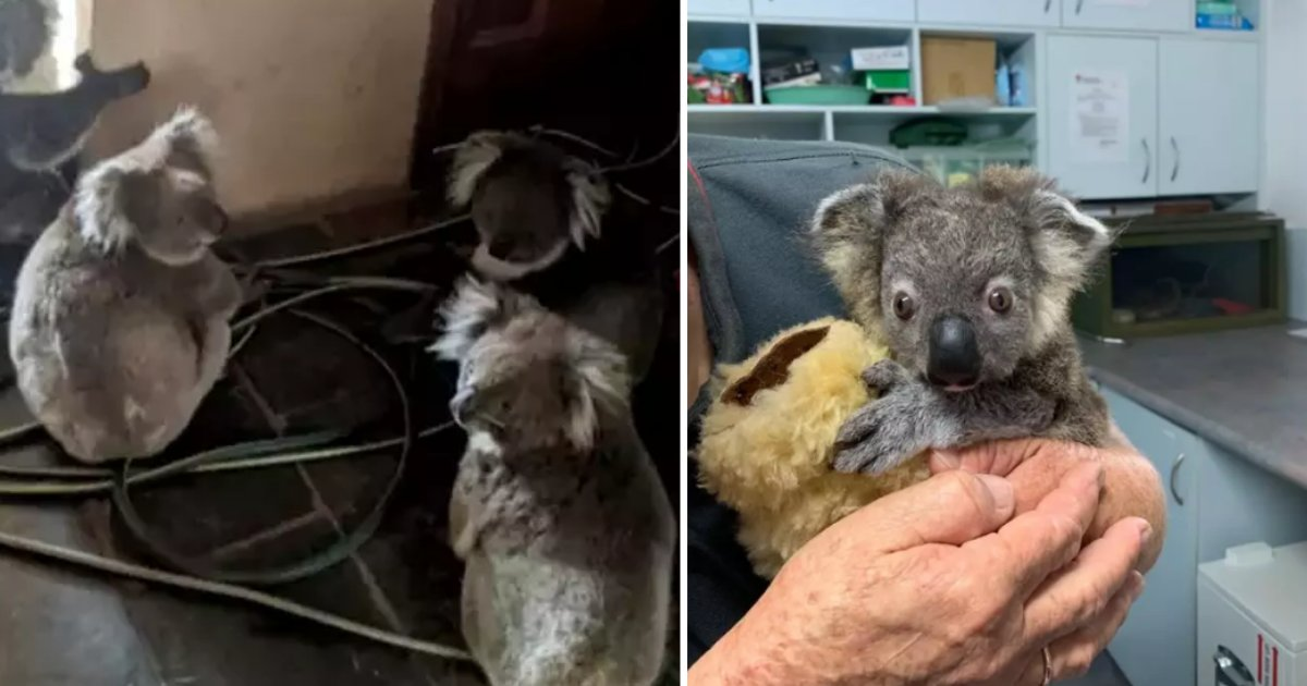 3 15.png?resize=1200,630 - Tiny Koala Bear Made An Excellent Recovery After He Was Rescued From The Bush Fire