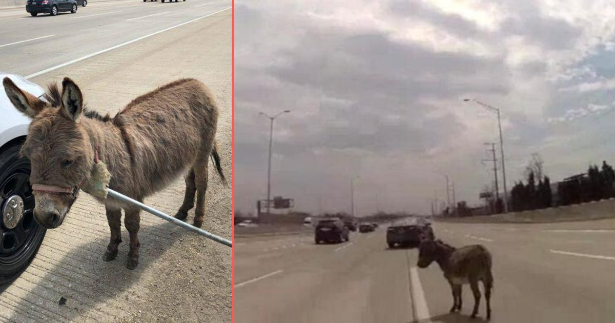 3 16.png?resize=1200,630 - Sheriff Finds A Donkey In The Middle Of Interstate-90 At Arlington Heights