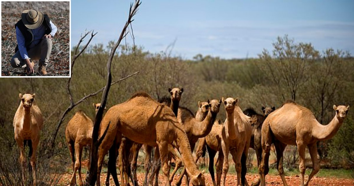 4 16.png?resize=1200,630 - Authorities of Australia Have Arranged a Slaughter of 10,000 Camels As They Drink a Lot of Water