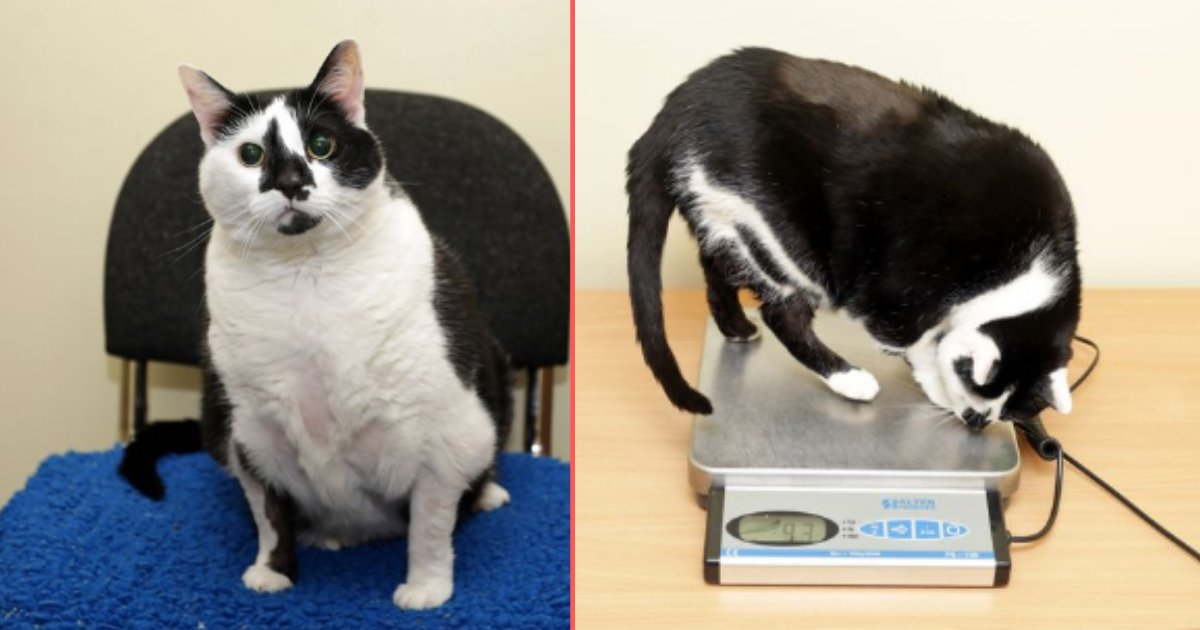 5 7.png?resize=1200,630 - Britain's Fattest Cat Sent to Rescue Center After Owner Gave Up