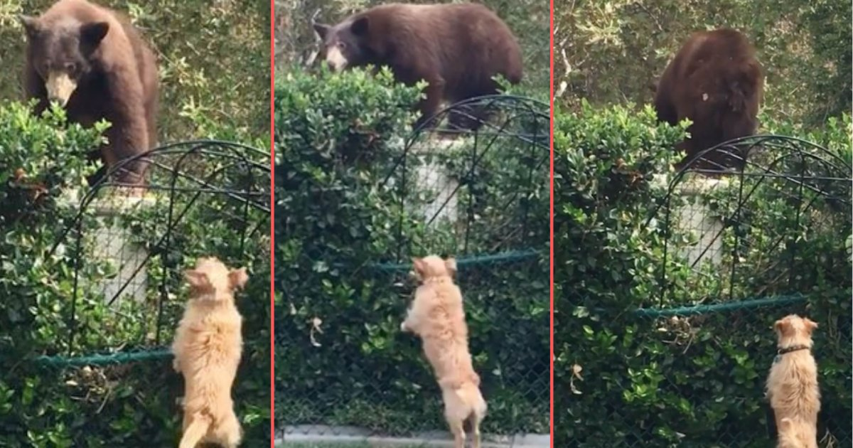 5 70.png?resize=1200,630 - Fearless Tiny Brave Dogs Chase Away Grizzly Bear From The Backyard of the House