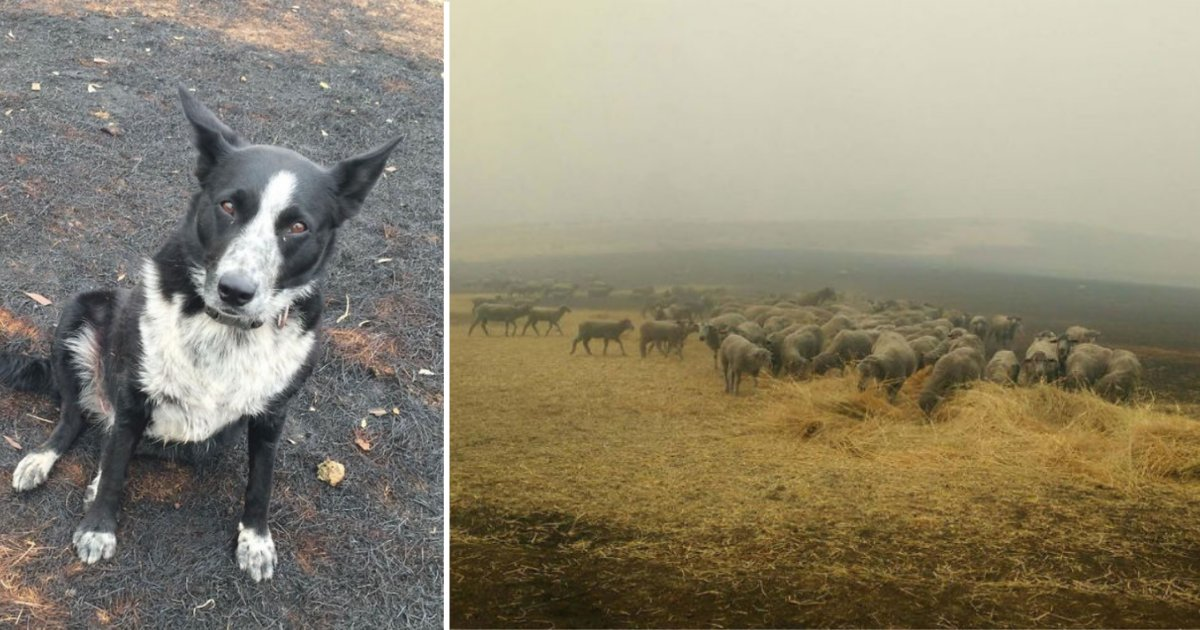 6 19.png?resize=1200,630 - Dog Saved A Flock of Sheep From The Deadly Australian Bushfires