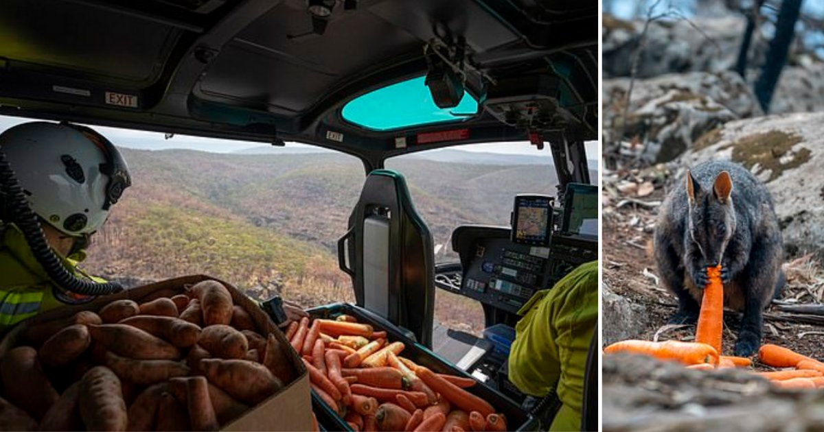 6 25.png?resize=1200,630 - Thousands of Kilos of Sweet Potatoes and Carrots Were Dropped From Helicopters For The Starving Animals Stuck In The Forest