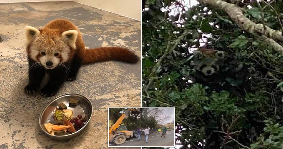 7 56.jpg?resize=1200,630 - Red Panda Who Fled Wildlife Park For A Second Time In Three Months Was Recaptured Safely
