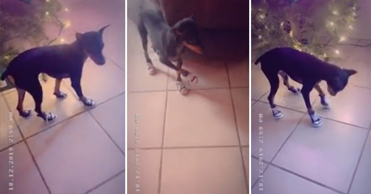 a 12.jpg?resize=1200,630 - Adorable Pup Walked Hilariously After Owner Bought Her Stylish Pair Of Shoes