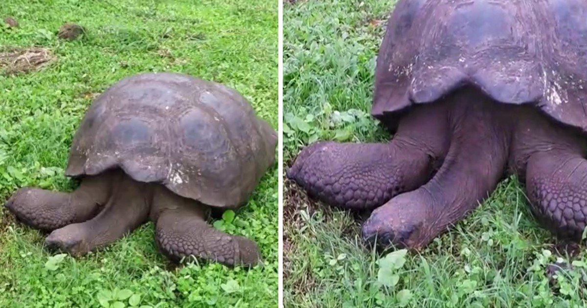 a 33.jpg?resize=300,169 - A Giant Tortoise Enjoyed A Peaceful Nap Under The Sun