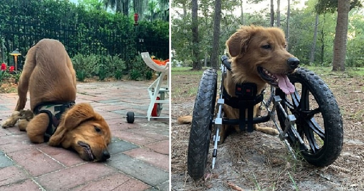 a4 1.jpg?resize=1200,630 - A Special Wheelchair Gave A New Life To This Amazing Double-Amputee Dog
