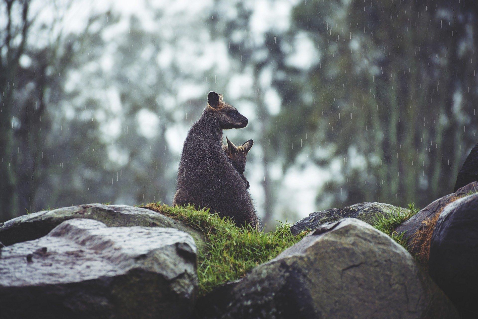 animals 1869759 1920.jpg?resize=1200,630 - Australie : Des prévisions de fortes pluies apportent enfin du répit aux pompiers