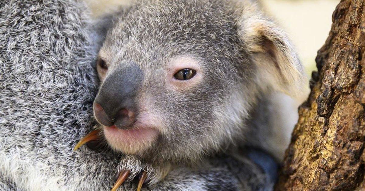 baby koala born at zoo miami named hope to honor the victims of the australian bushfires.jpg?resize=1200,630 - Baby Koala Was Named 'Hope' To Honor The Victims Of The Bushfires In Australia