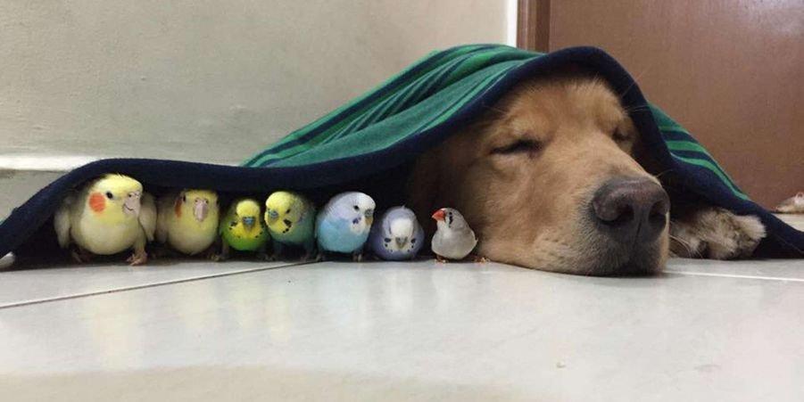 bob le golden retriever et ses amis.jpg?resize=412,232 - Animaux : Deux chiens, un hamster et huit oiseaux sont des amis inséparables