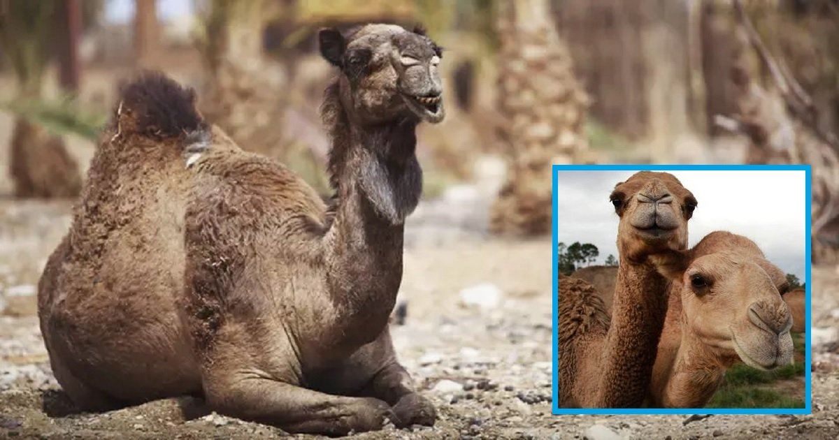 c3 2.jpg?resize=1200,630 - 10,000 Camels May Be Put Down To Save Water In Australia