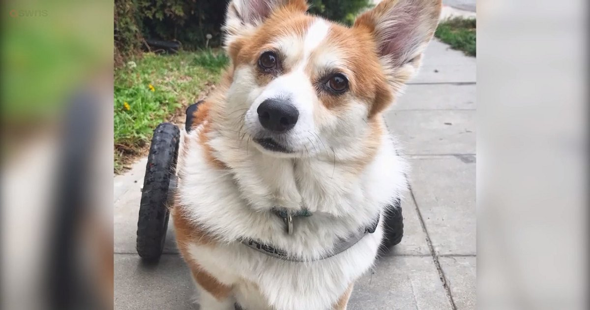 c3.png?resize=1200,630 - Corgi With Degenerative Myelophathy Has A Specialized Wheelchair To Help Her Get Around