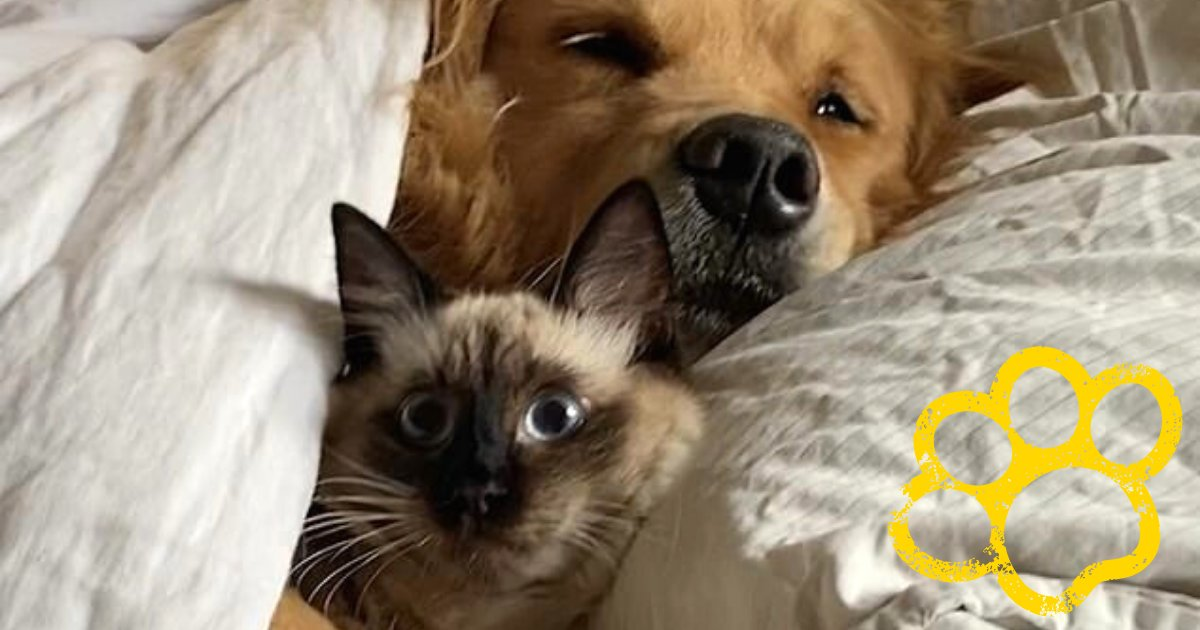 cat4.png?resize=1200,630 - Confused Cat Woke Up Being Cuddled By A Fluffy Golden Retriever