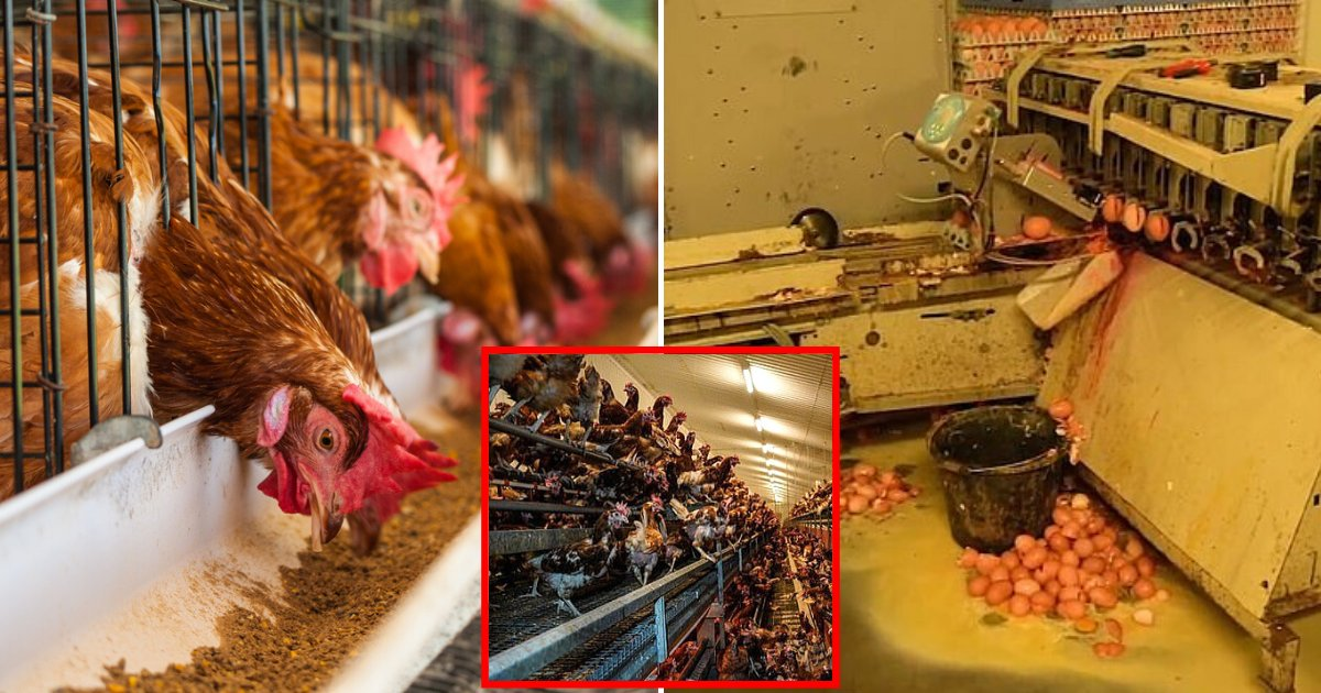 chicken6.png?resize=1200,630 - Free Range Chicken Farm Supplying Supermarkets Had License Suspended After A Video Showed Hens Living In Horrific Conditions