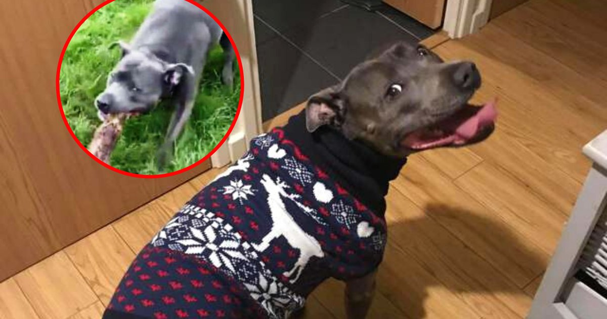 frankie5.png?resize=412,232 - Playful Dog Found The Biggest 'Stick' Ever And Tried To Take It Home