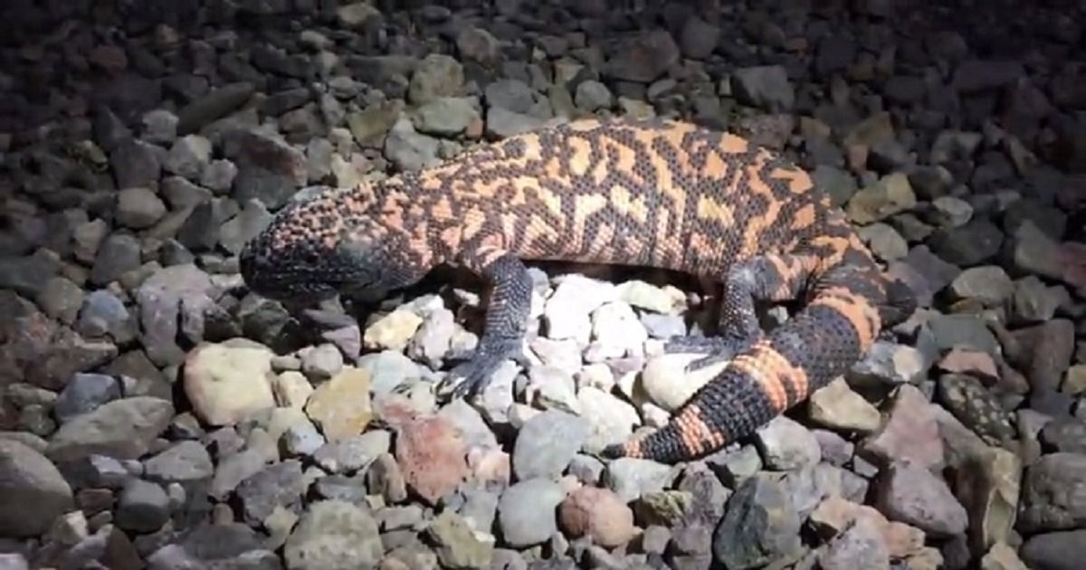 g3 2.jpg?resize=1200,630 - Lucky Biologists Encountered A Very Rare Lizard, Gila Monster