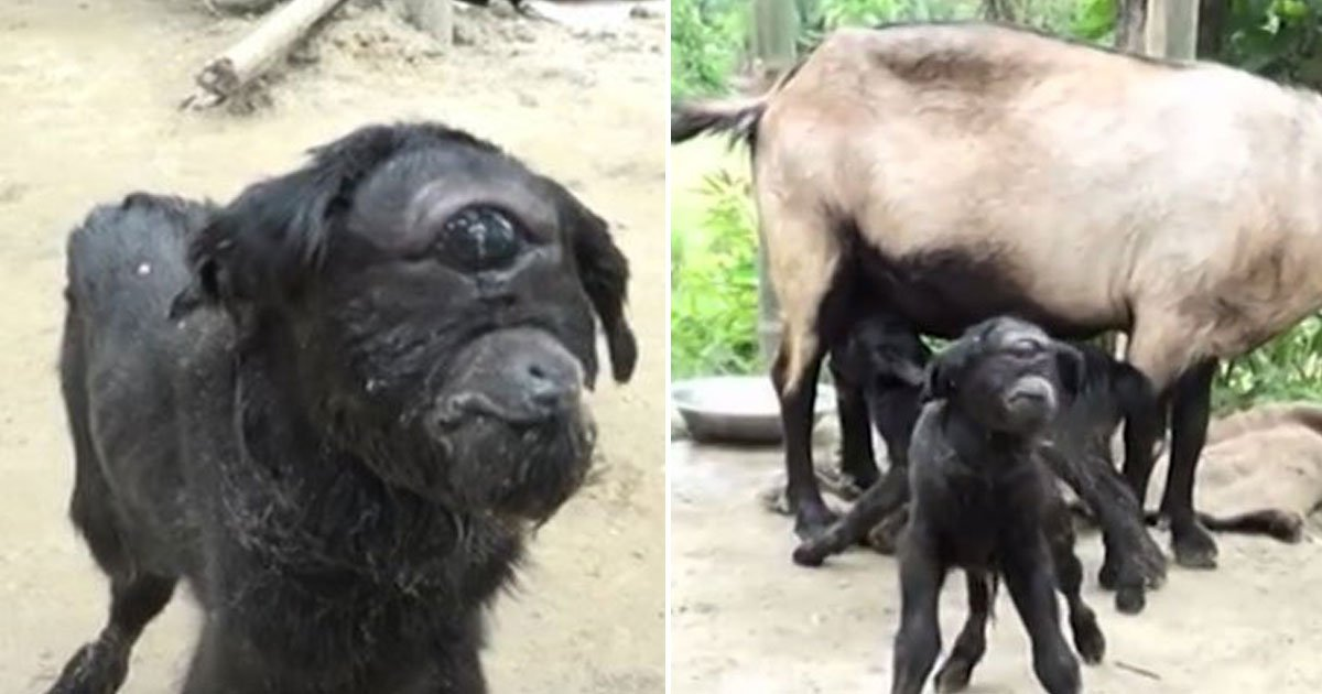 goat with one eye.jpg?resize=1200,630 - Baby Goat Born With One Eye In The Middle Of Its Forehead Is Defying Odds