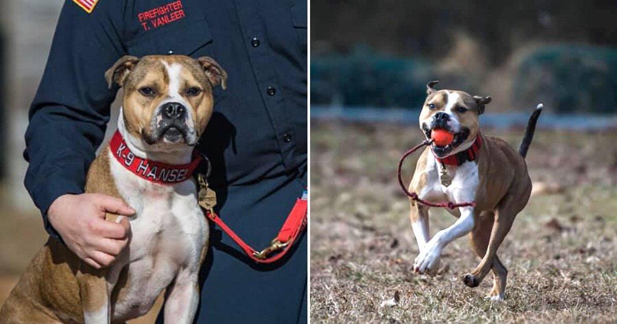 hansel6.png?resize=1200,630 - Rescue Dog Becomes The First Pit Bull To Graduate As An Arson Detection K9 Officer