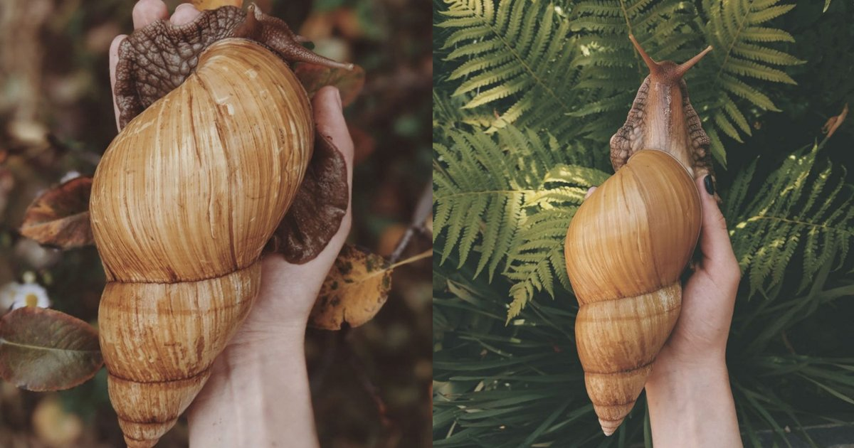 hdshsds.jpg?resize=1200,630 - These Giant Pet Snails Are Almost Equal To The Size Of Small Dogs And People Are Buying These