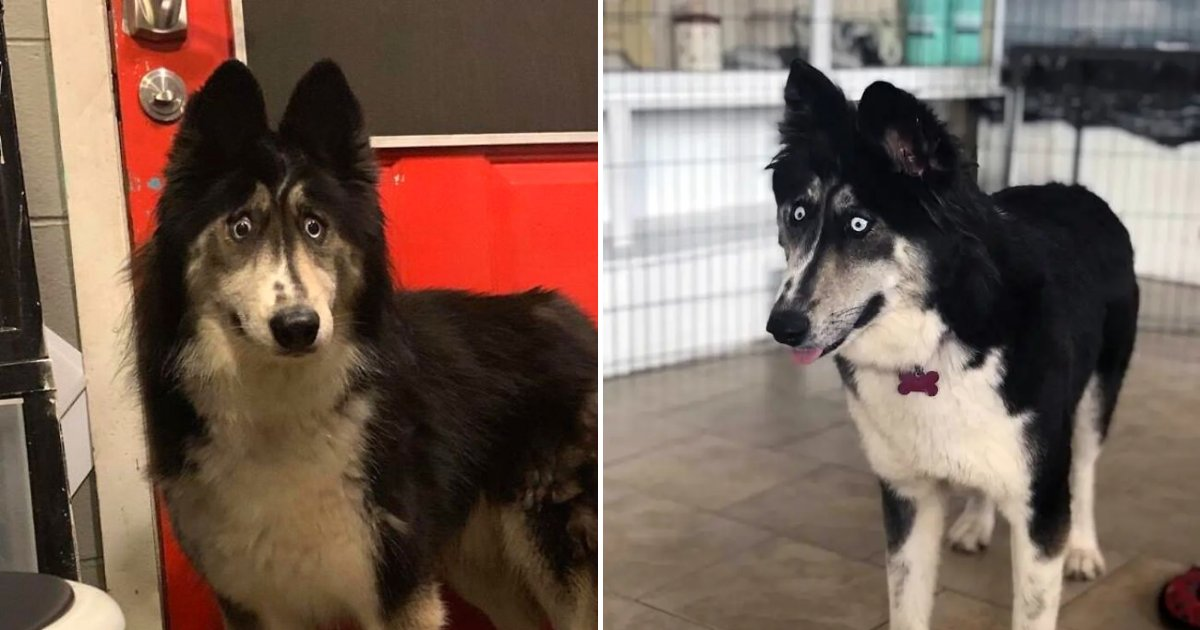 husky6.png?resize=412,232 - Husky Who Was Rejected By Owner Because Of Her Looks Is Now Gaining Popularity