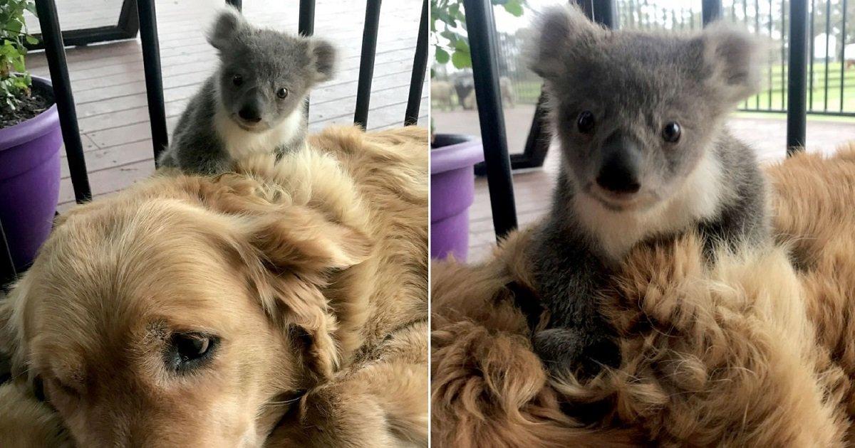 k3 1.jpg?resize=1200,630 - Golden Retriever Brought Home A Baby Koala In A Heartwarming Rescue