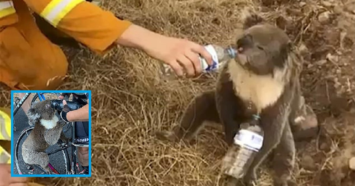 k3.jpg?resize=1200,630 - Wildlife Expert Shared Koalas Should Only Be Given Water To Drink If They Need It