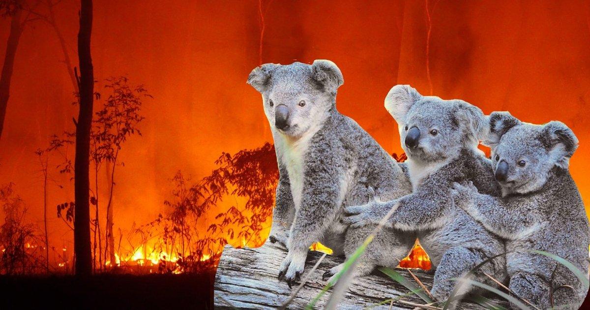 koala 1.jpg?resize=1200,630 - Australian Teens Drive Around During Bushfires And Rescue Koalas