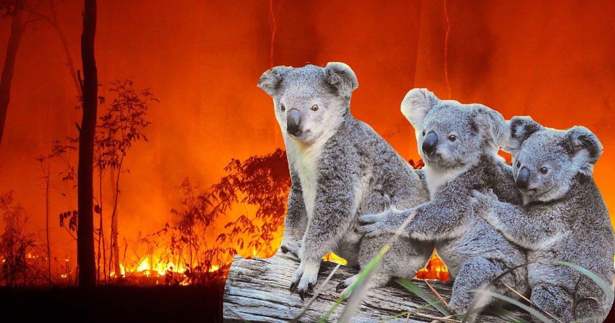 koala 1.jpg?resize=412,275 - Australian Teens Drive Around During Bushfires And Rescue Koalas