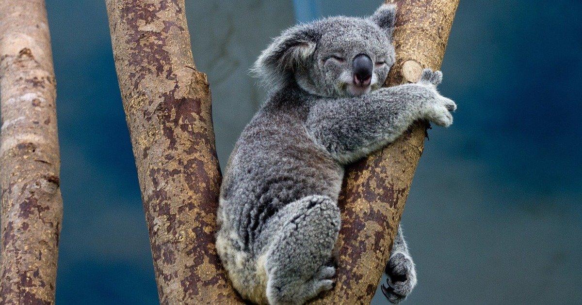 koala 1100469 1280.jpg?resize=1200,630 - L'extraordinaire sauvetage de koalas par des jeunes Australiens