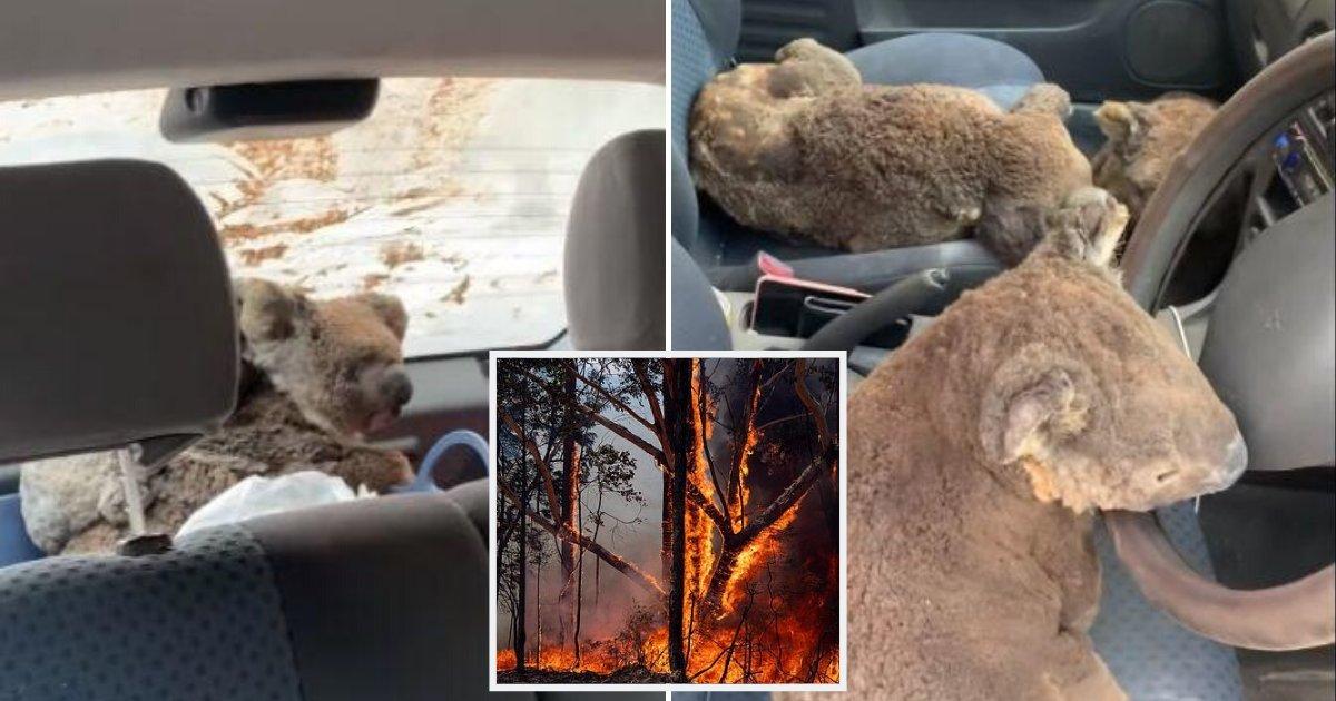 koalas5.png?resize=412,232 - Des adolescents ont transformé leur voiture en ambulance pour des koalas blessés alors qu'ils les sauvaient des feux dévastateurs