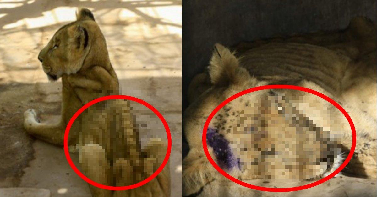 lion.png?resize=412,232 - 飼育代が賄えきれない?背骨が見えるほどやせ細ったライオンの写真が拡散されユーザー激怒!