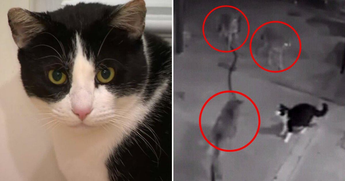 max5.png?resize=1200,630 - Brave Cat Fought Against Three Coyotes To Prevent Them From Getting Inside The House