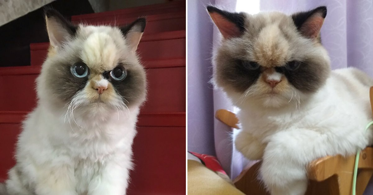 meow6.png?resize=1200,630 - How Dare You?! Meet The New Grumpy Cat That Looks So Angry It's Cute