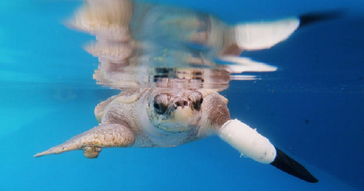 p3 4.jpg?resize=1200,630 - Goody The Sea Turtle Got To Swim Again With Prosthetic Flipper