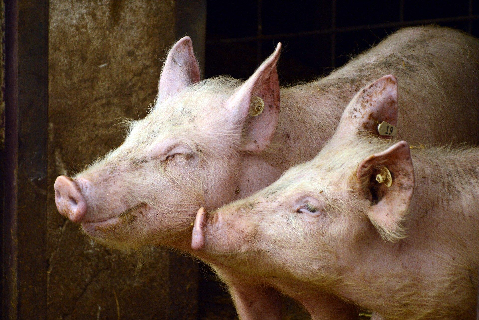 pigs 3967549 1920.jpg?resize=300,169 - Un fermier polonais retrouvé mort et dévoré par ses cochons
