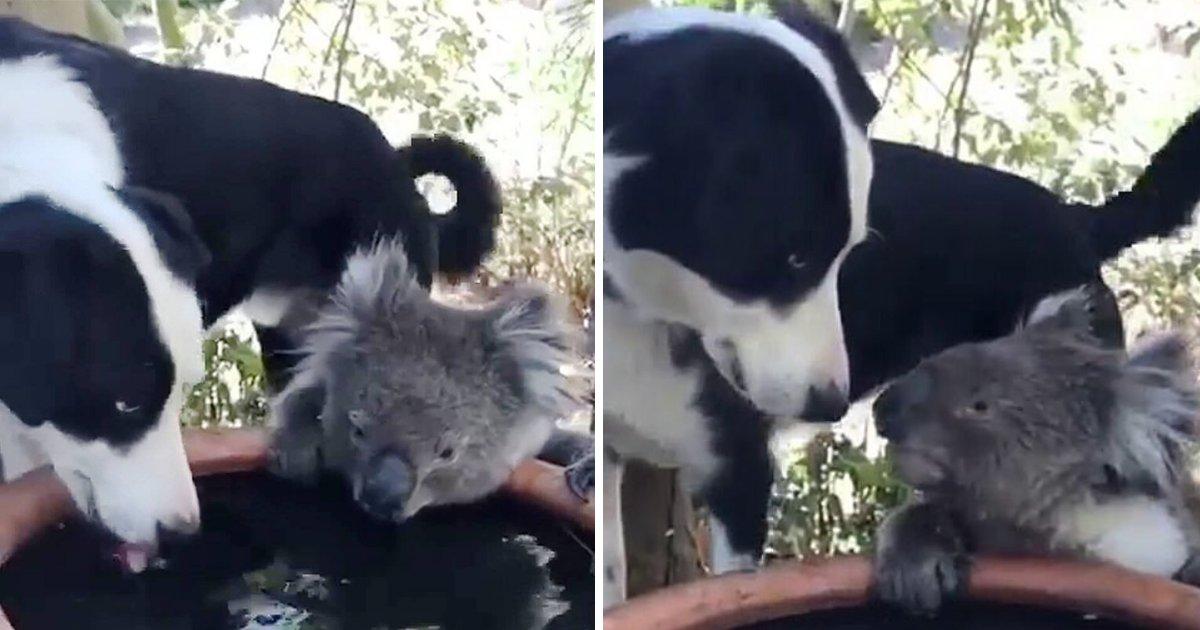 rusty5.png?resize=300,169 - Moment adorable: un chien amical partage de l'eau avec un koala très assoiffé