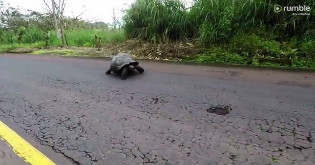 t3 5.jpg?resize=1200,630 - Majestic Giant Tortoise Crossed The Road Slowly As Drivers Give Way