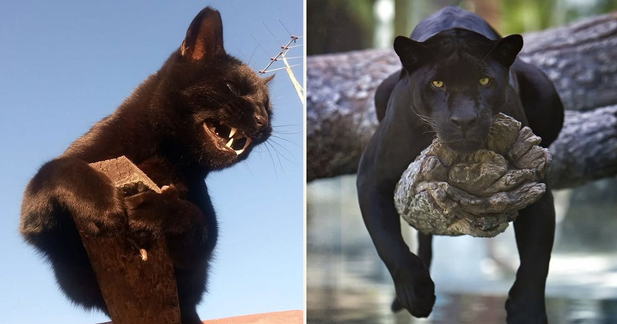 untitled 1 107.jpg?resize=1200,630 - People Compared Panthers To Large Sized Cats