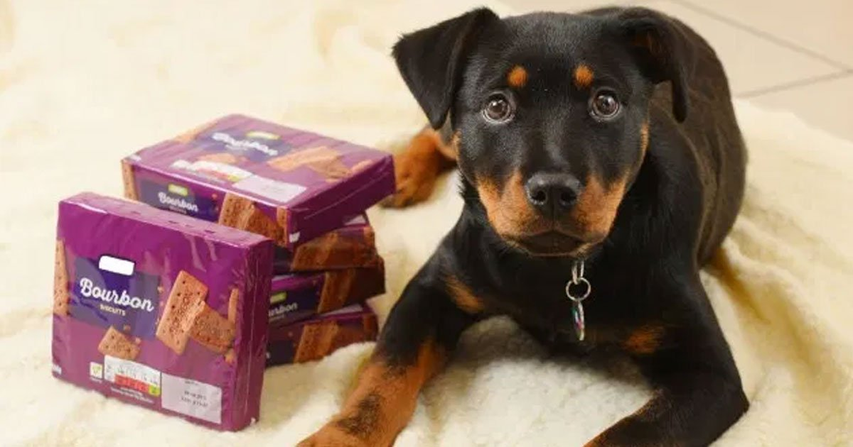 untitled 1 11.jpg?resize=1200,630 - A Puppy Underwent Life-Saving Treatment After Eating Two Packs Of Bourbon Biscuits