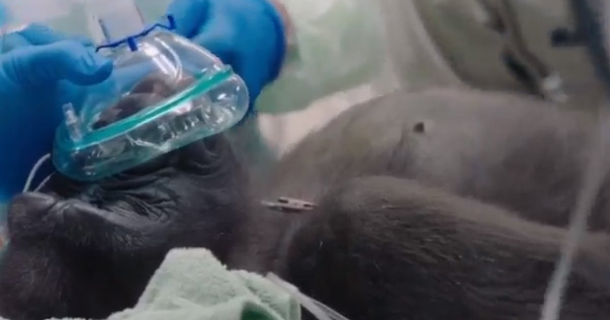 untitled 1 24.jpg?resize=1200,630 - Leslie The Gorilla Treated For Cataract In San Diego