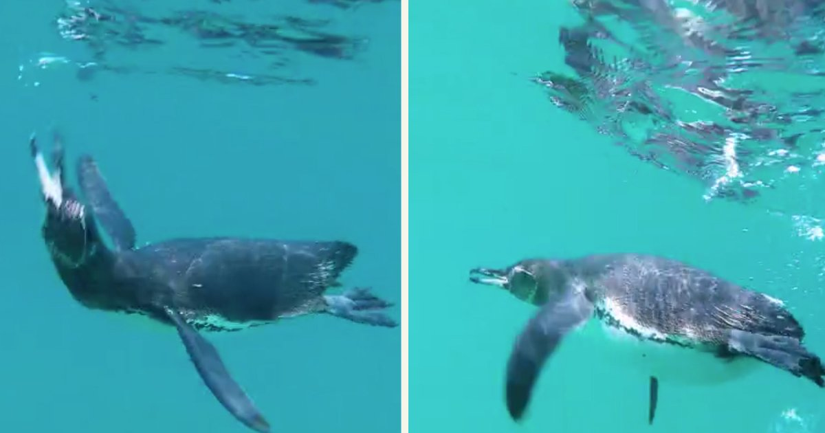 untitled 1 25.jpg?resize=1200,630 - Swimmer Had An Amazing Encounter With Galapagos Penguin In A Lagoon