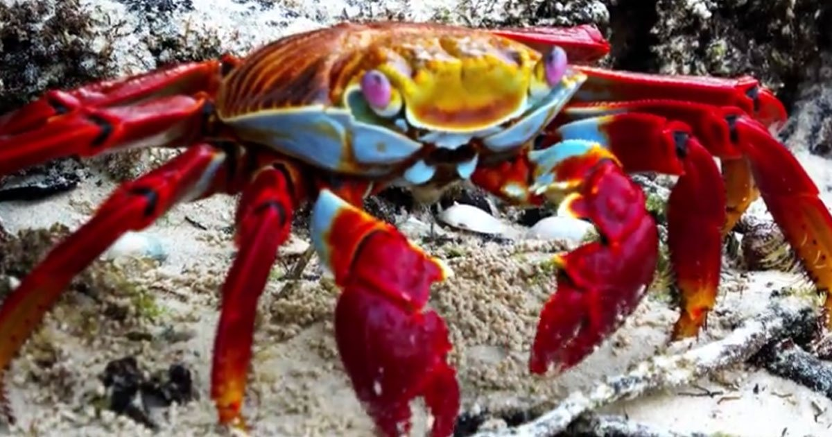 untitled 1 45.jpg?resize=1200,630 - Sally Lightfoot Crab, Known As The Janitor Of The Beach, Stopped To Eat Lunch In The Mangrove