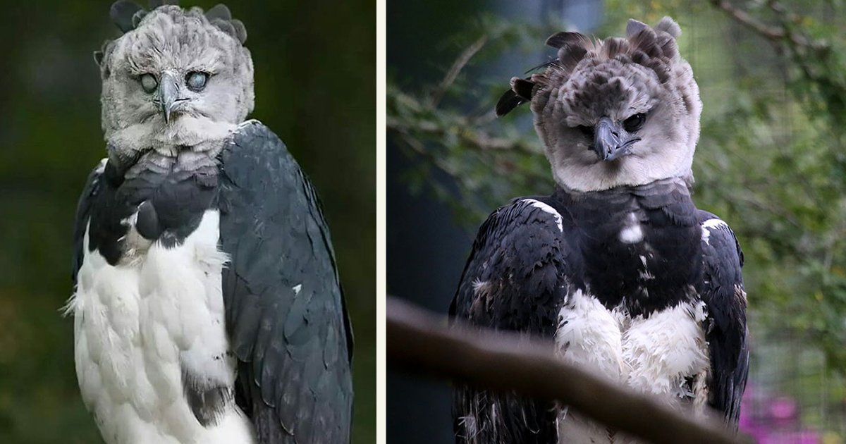untitled 1 59.jpg?resize=1200,630 - Harpy Eagle Is So Big, Some Think It's A Human Wearing A Costume